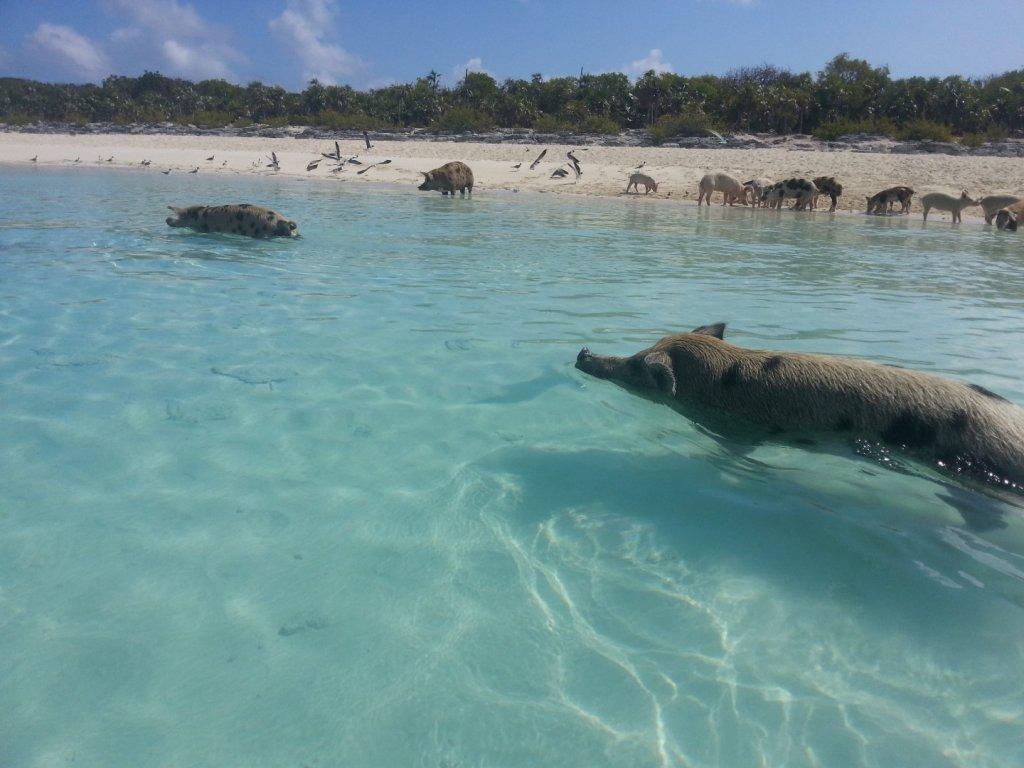 pigs (7)