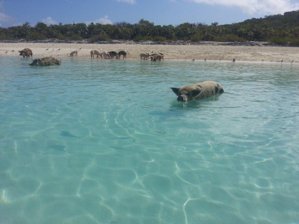 pigs (9)