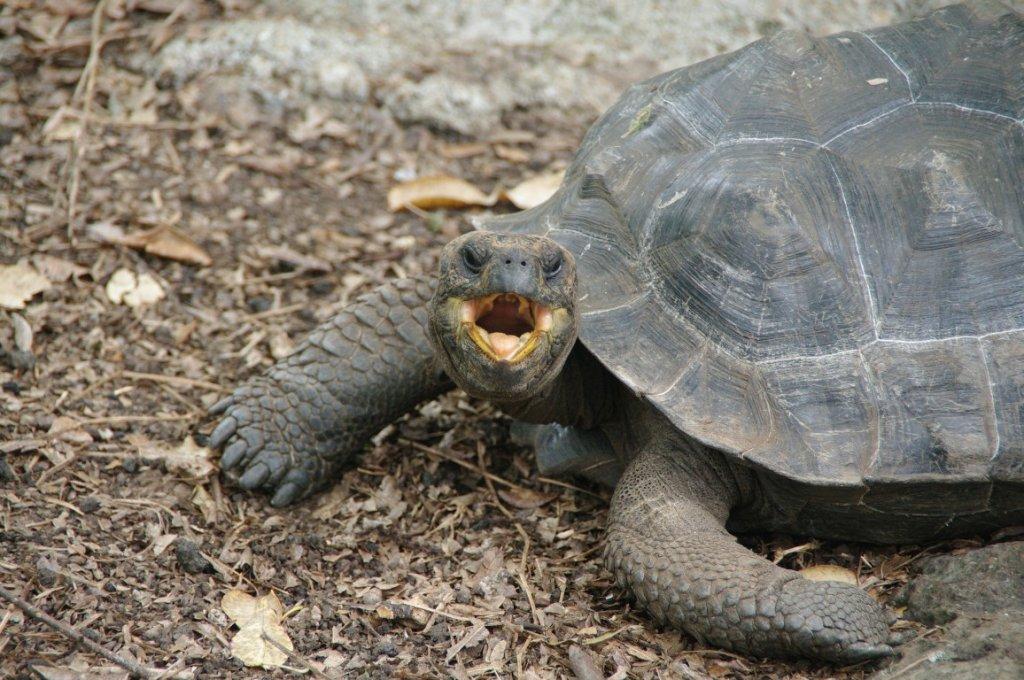 angry-tortuga