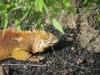 the-other-iguana