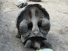 tortuga-wrestling