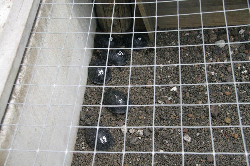 tortuga-breeding