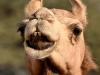 camels-3