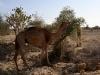 camels-6