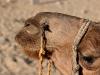 camels-8