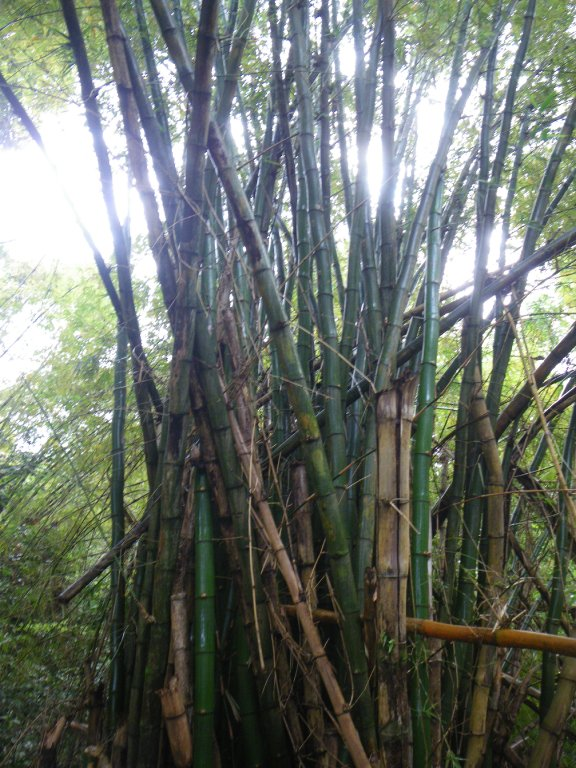 Bamboo is everywhere here.