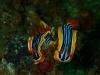 komodo (301)