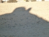camels shadow