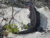Iguanas Love Slick