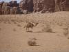 white-camel