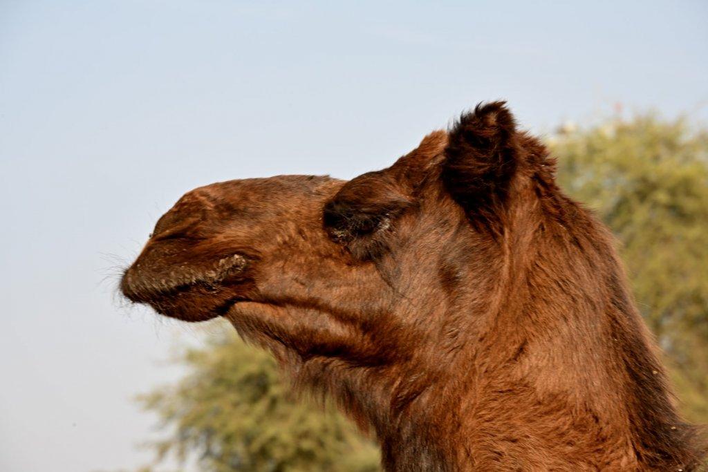 camels-2