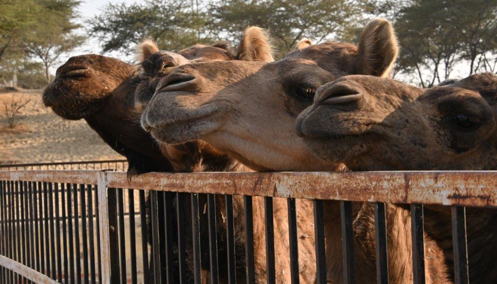 camels-5