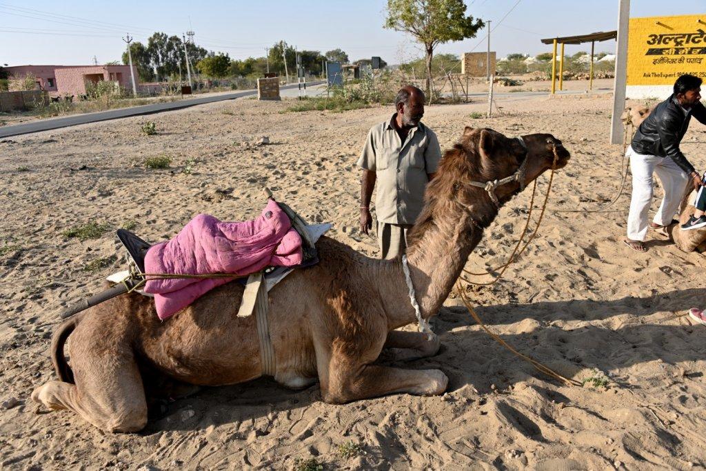 camels-7
