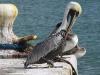 Poor Pelican